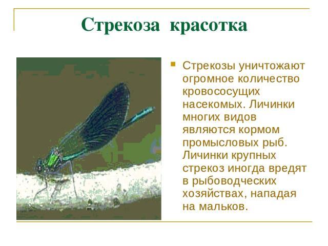 Стрекоза красотка Стрекозы уничтожают огромное количество кровососущих насекомых. Личинки многих видов являются кормом промысловых рыб. Личинки крупных стрекоз иногда вредят в рыбоводческих хозяйствах, нападая на мальков.