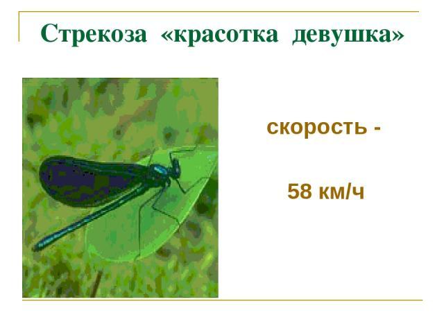 Стрекоза «красотка девушка» скорость - 58 км/ч