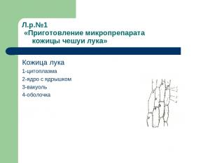Л.р.№1 «Приготовление микропрепарата кожицы чешуи лука» Кожица лука 1-цитоплазма