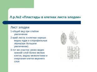 Л.р.№2 «Пластиды в клетках листа элодеи» Лист элодеи 1-общий вид при слабом увел