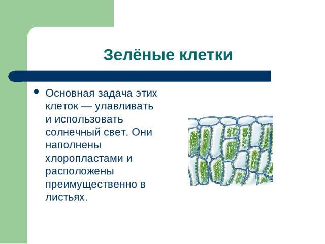 Зелёные клетки Основная задача этих клеток — улавливать и использовать солнечный свет. Они наполнены хлоропластами и расположены преимущественно в листьях.