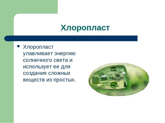 Хлоропласт Хлоропласт улавливает энергию солнечного света и использует ее для создания сложных веществ из простых.