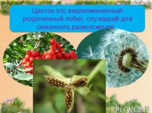 Цветок это видоизмененный укороченный побег, служащий для семенного размножения.