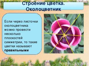 Строение цветка. Околоцветник Если через листочки околоцветника можно провести н