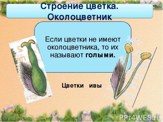 Строение цветка. Околоцветник Если цветки не имеют околоцветника, то их называют голыми.