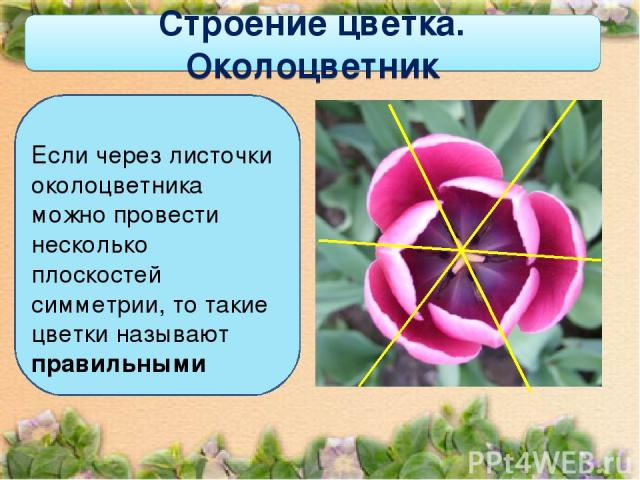Строение цветка. Околоцветник Если через листочки околоцветника можно провести несколько плоскостей симметрии, то такие цветки называют правильными