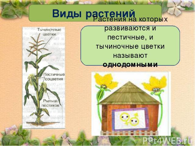 Виды растений Растения на которых развиваются и пестичные, и тычиночные цветки называют однодомными