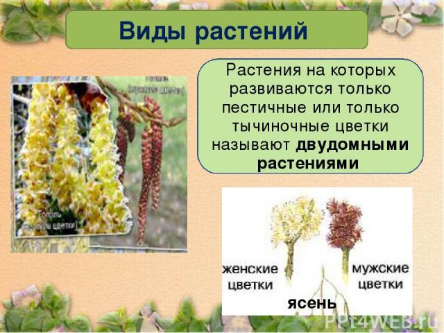 Виды растений Растения на которых развиваются только пестичные или только тычиночные цветки называют двудомными растениями