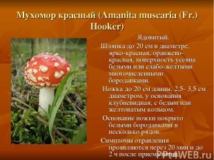 Мухомор красный (Amanita muscaria (Fr.) Hooker) Ядовитый. Шляпка до 20 см в диам