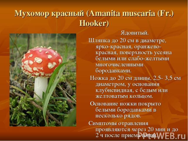 Мухомор красный (Amanita muscaria (Fr.) Hooker) Ядовитый. Шляпка до 20 см в диаметре, ярко-красная, оранжево-красная, поверхность усеяна белыми или слабо-желтыми многочисленными бородавками. Ножка до 20 см длины, 2,5- 3,5 см диаметром, у основания к…