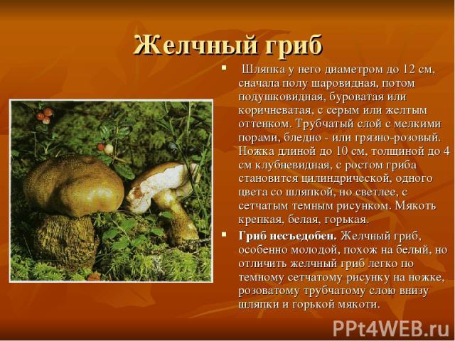 Желчный гриб Шляпка у него диаметром до 12 см, сначала полу шаровидная, потом подушковидная, буроватая или коричневатая, с серым или желтым оттенком. Трубчатый слой с мелкими порами, бледно - или грязно-розовый. Ножка длиной до 10 см, толщиной до 4…