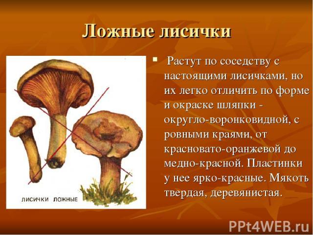 Ложные лисички Растут по соседству с настоящими лисичками, но их легко отличить по форме и окраске шляпки - округло-воронковидной, с ровными краями, от красновато-оранжевой до медно-красной. Пластинки у нее ярко-красные. Мякоть твердая, деревянистая.
