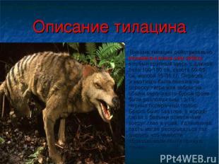 Описание тилацина Внешне тилацин действительно напоминал волка или собаку. это б