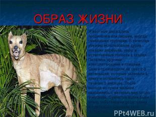 ОБРАЗ ЖИЗНИ Животные держались поодиночке или парами, иногда семейными группами.