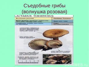 Съедобные грибы (волнушка розовая)