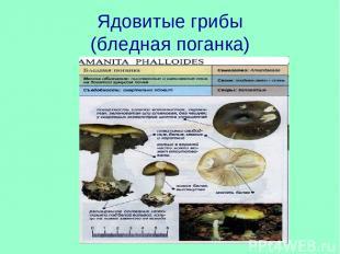 Ядовитые грибы (бледная поганка)