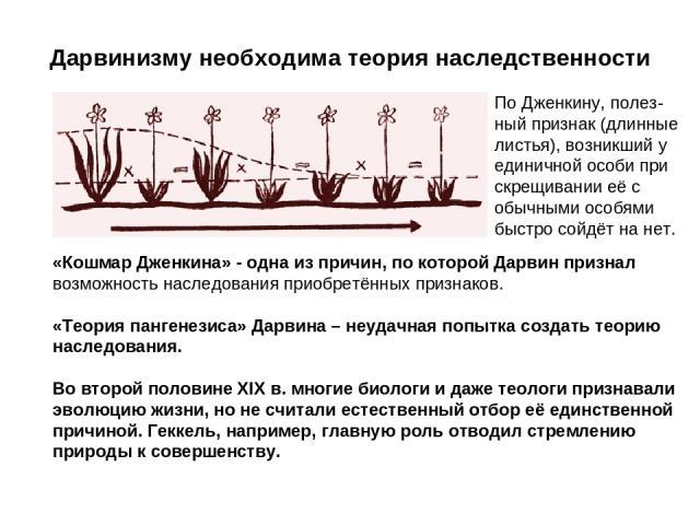 Дарвинизму необходима теория наследственности По Дженкину, полез- ный признак (длинные листья), возникший у единичной особи при скрещивании её с обычными особями быстро сойдёт на нет. «Кошмар Дженкина» - одна из причин, по которой Дарвин признал воз…