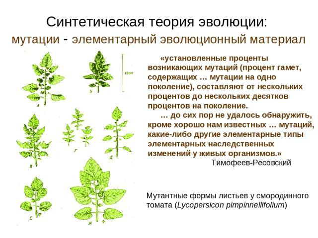Синтетическая теория эволюции: мутации - элементарный эволюционный материал Мутантные формы листьев у смородинного томата (Lycopersicon pimpinnellifolium) «установленные проценты возникающих мутаций (процент гамет, содержащих … мутации на одно покол…