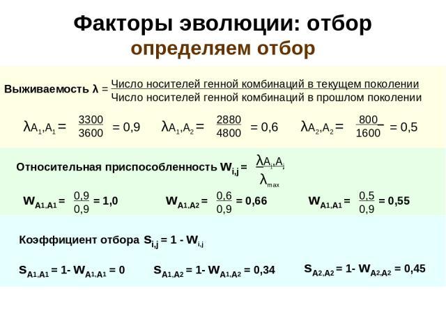 Факторы эволюции: отбор определяем отбор Относительная приспособленность wi,j = λАi,Аj λmax Коэффициент отбора si,j = 1 - wi,j sA1,A1 = 1- wA1,A1 = 0 sA1,A2 = 1- wA1,A2 = 0,34 sA2,A2 = 1- wA2,A2 = 0,45