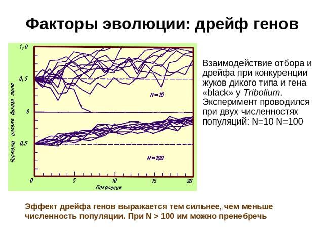 Факторы эволюции: дрейф генов Взаимодействие отбора и дрейфа при конкуренции жуков дикого типа и гена «black» у Tribolium. Эксперимент проводился при двух численностях популяций: N=10 N=100 Эффект дрейфа генов выражается тем сильнее, чем меньше числ…