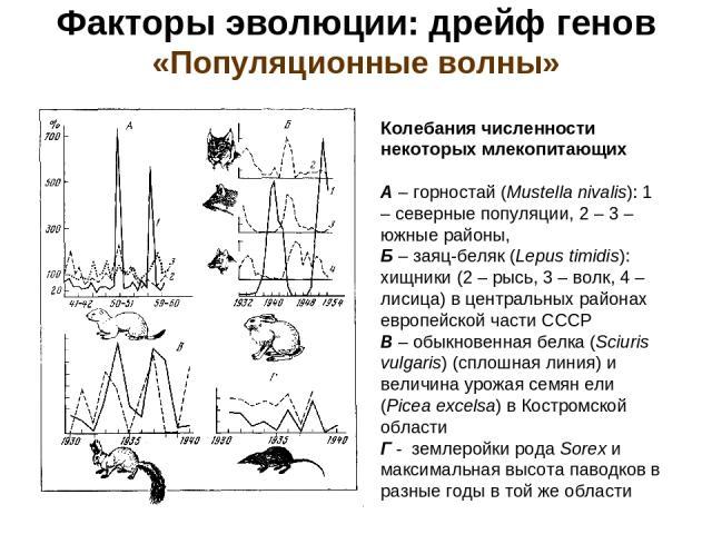 Факторы эволюции: дрейф генов «Популяционные волны» Колебания численности некоторых млекопитающих А – горностай (Mustella nivalis): 1 – северные популяции, 2 – 3 – южные районы, Б – заяц-беляк (Lepus timidis): хищники (2 – рысь, 3 – волк, 4 – лисица…