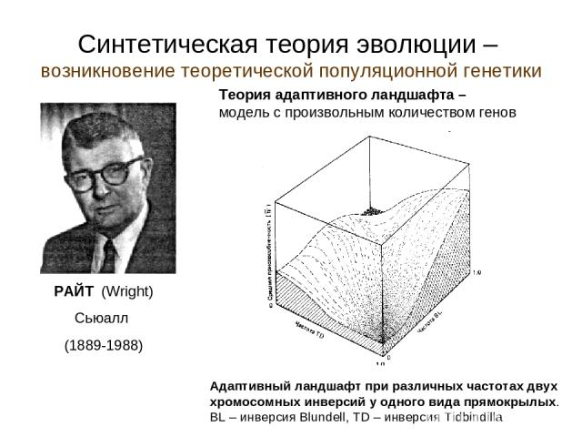 Синтетическая теория эволюции – возникновение теоретической популяционной генетики Теория адаптивного ландшафта – модель с произвольным количеством генов РАЙТ (Wright) Сьюалл (1889-1988) Адаптивный ландшафт при различных частотах двух хромосомных ин…