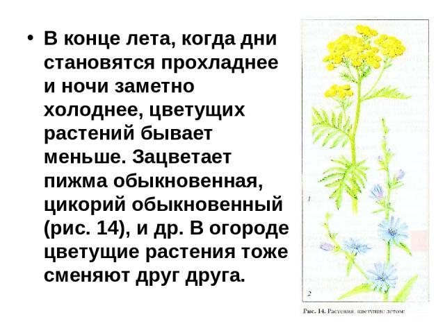 В конце лета, когда дни становятся прохладнее и ночи заметно холоднее, цветущих растений бывает меньше. Зацветает пижма обыкновенная, цикорий обыкновенный (рис. 14), и др. В огороде цветущие растения тоже сменяют друг друга.