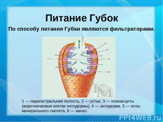 Питание Губок По способу питания Губки являются фильтраторами. 1 — парагастральная полость, 2 — устье, 3 — хоанаоциты (воротничковые клетки энтодермы), 4 — эктодерма, 5 — иглы минерального скелета, 6 — канал.