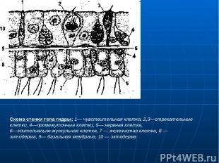 Схема стенки тела гидры: 1— чувствительная клетка, 2,3—стрекательные клетки, 4—п