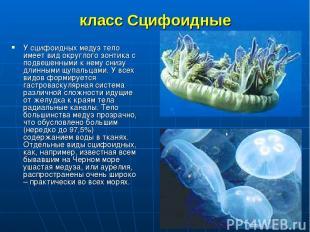 класс Сцифоидные У сцифоидных медуз тело имеет вид округлого зонтика с подвешенн