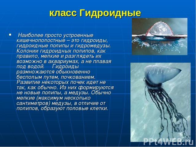 класс Гидроидные Наиболее просто устроенные кишечнополостные – это гидроиды, гидроидные полипы и гидромедузы. Колонии гидроидных полипов, как правило, мелкие и разглядеть их возможно в аквариумах, а не плавая под водой. Гидроиды размножаются об…