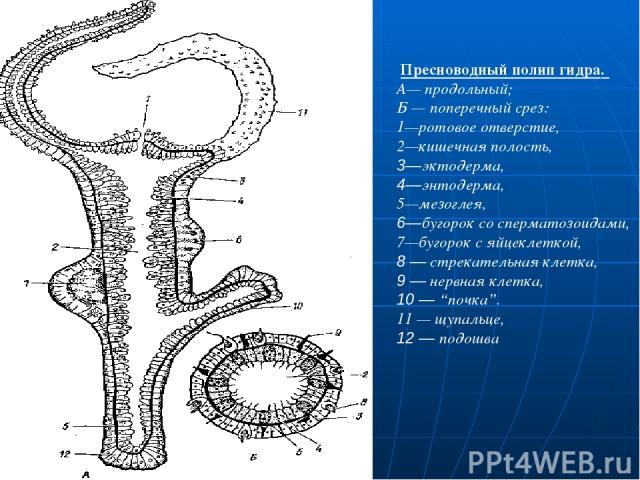 """Пресноводный полип гидра. А— продольный; Б — поперечный срез: 1—ротовое отверстие, 2—кишечная полость, 3—эктодерма, 4—энтодерма, 5—мезоглея, 6—бугорок со сперматозоидами, 7—бугорок с яйцеклеткой, 8 — стрекательная клетка, 9 — нервная клетка, 10 — """"п…"""