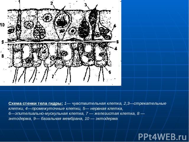 Схема стенки тела гидры: 1— чувствительная клетка, 2,3—стрекательные клетки, 4—промежуточные клетки, 5— нервная клетка, 6—эпителиально-мускульная клетка, 7 — железистая клетка, 8 — энтодерма, 9— базальная мембрана, 10 — эктодерма