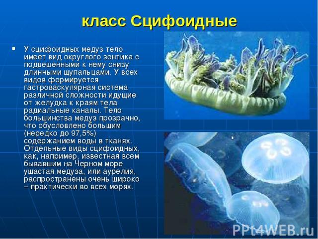 класс Сцифоидные У сцифоидных медуз тело имеет вид округлого зонтика с подвешенными к нему снизу длинными щупальцами. У всех видов формируется гастроваскулярная система различной сложности идущие от желудка к краям тела радиальные каналы. Тело больш…
