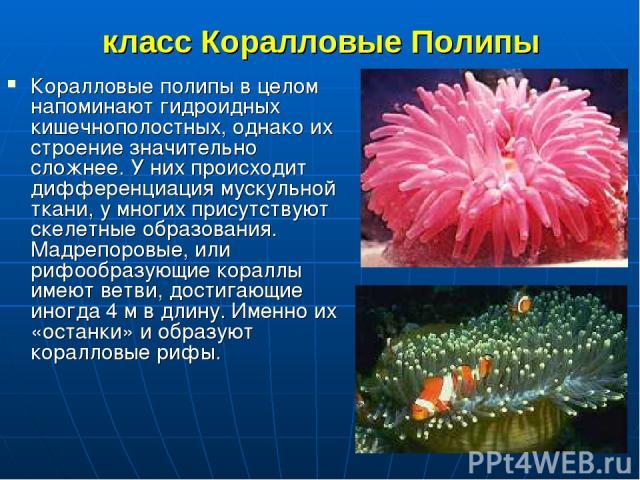 класс Коралловые Полипы Коралловые полипы в целом напоминают гидроидных кишечнополостных, однако их строение значительно сложнее. У них происходит дифференциация мускульной ткани, у многих присутствуют скелетные образования. Мадрепоровые, или рифооб…
