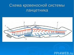 Схема кровеносной системы ланцетника