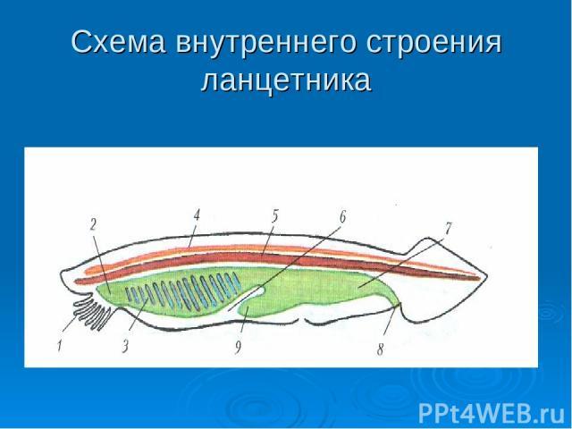 Схема внутреннего строения ланцетника