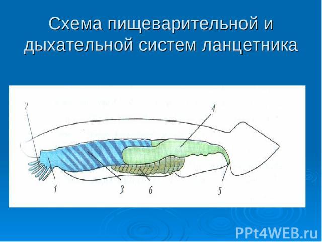Схема пищеварительной и дыхательной систем ланцетника
