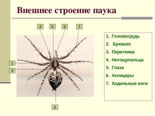 Внешнее строение паука Головогрудь Брюшко Перетяжка Ногощупальца Глаза Хелицеры