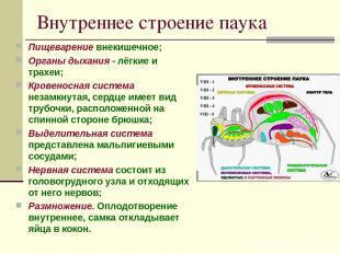 Внутреннее строение паука Пищеварение внекишечное; Органы дыхания - лёгкие и тра