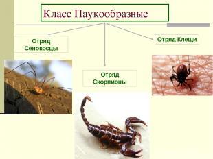 Класс Паукообразные Отряд Сенокосцы Отряд Скорпионы Отряд Клещи