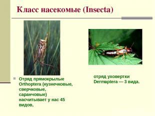 Класс насекомые (Insecta) Отряд прямокрылые Orthoptera (кузнечковые, сверчковые,