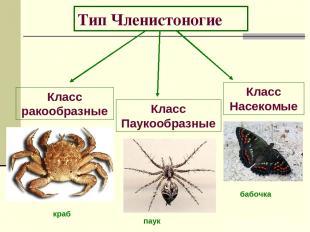 Тип Членистоногие Класс ракообразные Класс Паукообразные Класс Насекомые бабочка