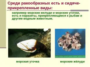 например морские желуди и морские уточки, есть и паразиты, прикрепляющиеся к рыб
