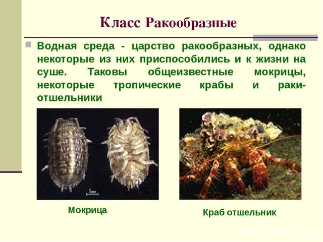 Класс Ракообразные Водная среда - царство ракообразных, однако некоторые из них приспособились и к жизни на суше. Таковы общеизвестные мокрицы, некоторые тропические крабы и раки-отшельники Краб отшельник Мокрица