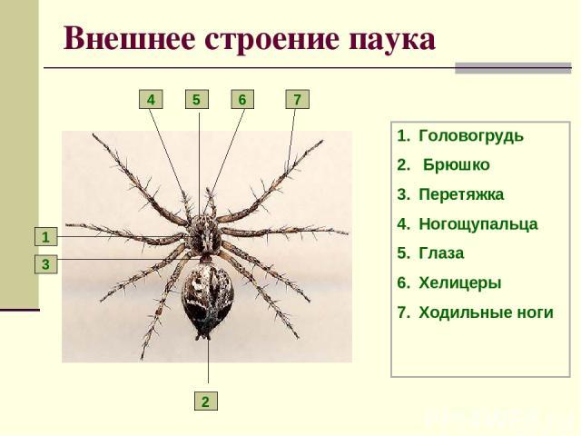 Внешнее строение паука Головогрудь Брюшко Перетяжка Ногощупальца Глаза Хелицеры Ходильные ноги 1 2 3 4 5 6 7