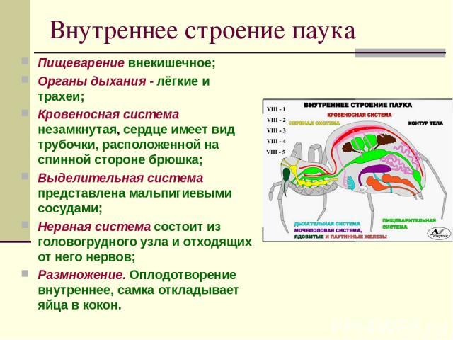Внутреннее строение паука Пищеварение внекишечное; Органы дыхания - лёгкие и трахеи; Кровеносная система незамкнутая, сердце имеет вид трубочки, расположенной на спинной стороне брюшка; Выделительная система представлена мальпигиевыми сосудами; Нерв…