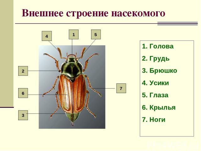 Внешнее строение насекомого Голова Грудь Брюшко Усики Глаза Крылья Ноги 7 2 6 3 5 4 1