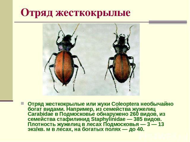 Отряд жесткокрылые Отряд жесткокрылые или жуки Coleoptera необычайно богат видами. Например, из семейства жужелиц Carabidae в Подмосковье обнаружено 260 видов, из семейства стафилинид Staphylinidae — 385 видов. Плотность жужелиц в лесах Подмосковья …