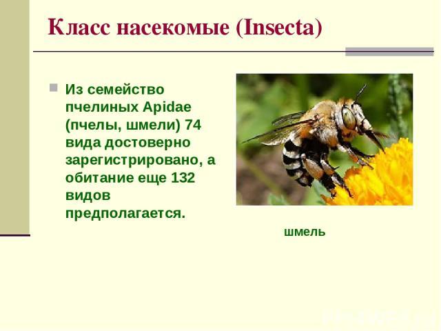 Класс насекомые (Insecta) Из семейство пчелиных Apidae (пчелы, шмели) 74 вида достоверно зарегистрировано, а обитание еще 132 видов предполагается. шмель